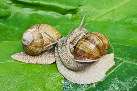 gastropoda: Mating game snails on the background of green leaves.
