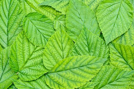 frondage: Background of the young, green, fresh leaves.