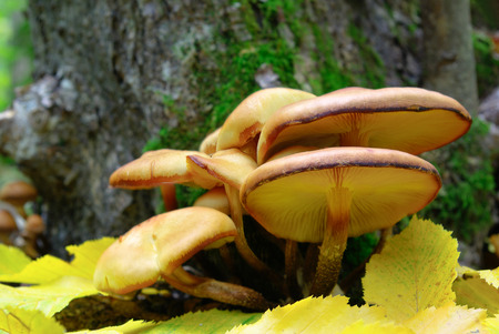 Mushrooms growing in the woods among the fallen leaves Stock Photo
