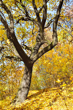 yellowed: Yellowed autumn leaves on a tree in the forest.