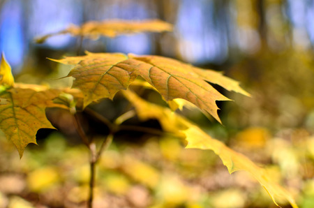 palmate: Yellowed maple leaves in the autumn forest close up. Young trees in the wild nature Stock Photo