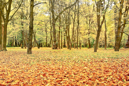 yellowed: Yellowed leaves on the trees in the autumn forest.
