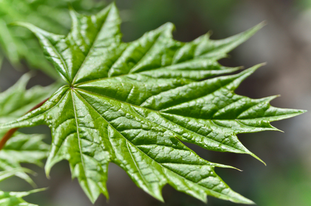 veining: Young maple leaf in the forest close-up Stock Photo