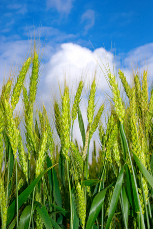 barley head: Young Ears of wheat against the blue sky. Agricultural plants at maturity and harvest.