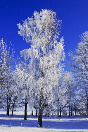 clear day in winter time: Birch trees,bushes,twigs,in the white snow,covered with hoar frost,on the background of the blue sky. Stock Photo