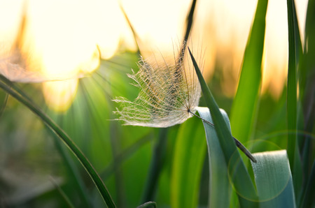 pubescent: Lonely achene dandelion on background of sunset. Gone with the Wind dandelion seeds on the grass.