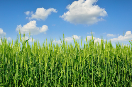 barley head: Young ears of grain on the background of blue sky Stock Photo