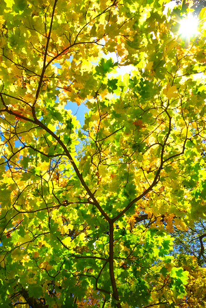 yellowing: Rays of sun among the yellowing autumn leaves