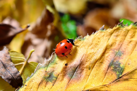 Ladybug on the fallen yellow leaves in the fall. Insects in the wild nature. Stock Photo