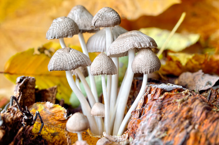 Family inedible mushrooms growing in the forest. Poisonous mushrooms in the wild nature