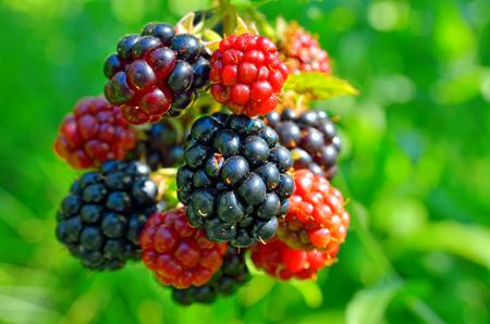 Large blackberries ripen in the garden. Harvest berries in the summer season. Standard-Bild