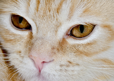 carroty: Muzzle of a young cat carroty closeup Stock Photo