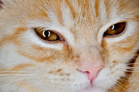 muzzle: Muzzle of a young cat carroty closeup Stock Photo