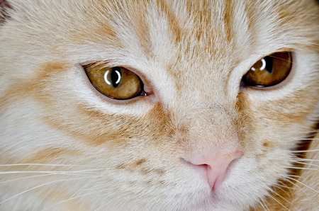 Muzzle of a young cat carroty closeup Stock Photo