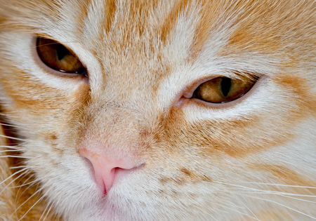 nursling: Muzzle of a young cat carroty closeup Stock Photo