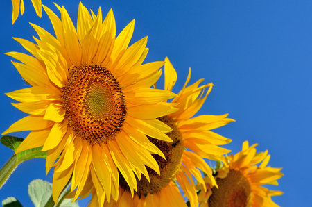 fruition: Young sunflowers bloom in field against a blue sky Stock Photo