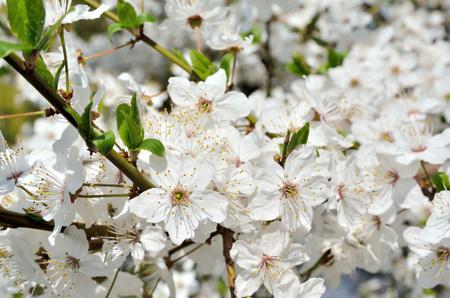 Weiße Blüten Auf Den Zweigen Der Bäume Im Frühjahr Lizenzfreie Fotos ...