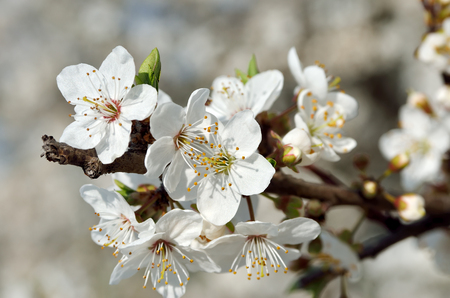 White flowers on the branches of trees in the spring Standard-Bild