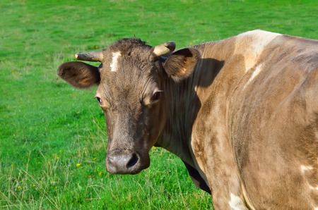 bovidae: Grazing cattle in a pasture with a young green grass Stock Photo
