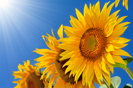 fruition: Young sunflowers blooming in the field against the blue sky. Stock Photo
