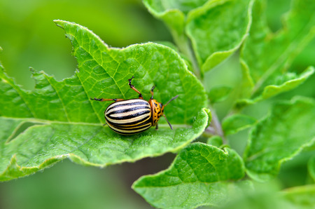 Colorado bee eats a potato leaves young. Pests destroy a crop in the field. Parasites in wildlife and agriculture. Stock Photo