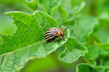 Colorado bee eats a potato leaves young. Pests destroy a crop in the field. Parasites in wildlife and agriculture. Stok Fotoğraf