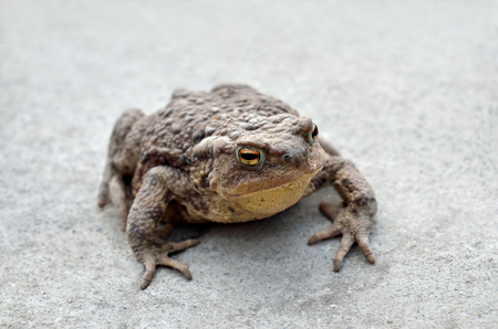 Large earth toad sits on a concrete road Stock Photo