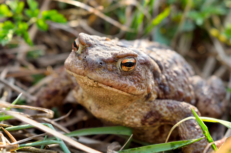 rana venenosa: Large earth toad hunts from shelter in the dry grass