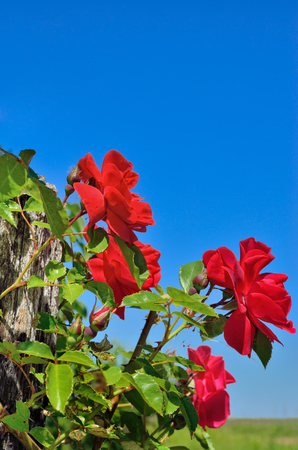 Red rose bloom in garden on background of blue sky