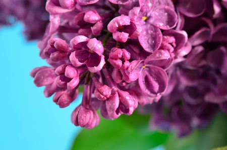 lamiales: Branches of the young, blossoming lilac closeup Stock Photo