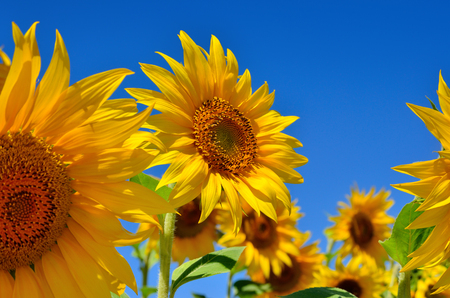 helianthus: Young sunflowers bloom in field against a blue sky Stock Photo