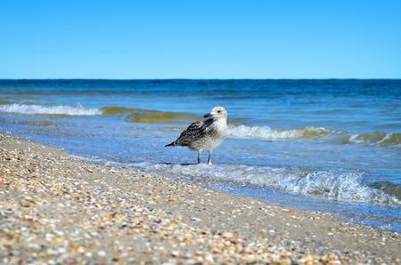 Large Black Sea seagulls in the natural habitat. Stock Photo
