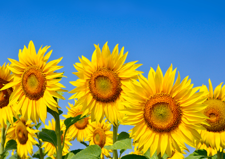 Young sunflowers bloom in field against a blue sky Stock fotó