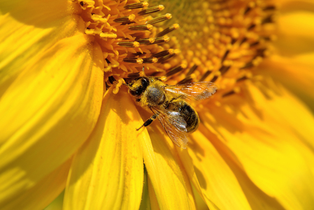 apis: Honeybee collects nectar on the flowers of a sunflower