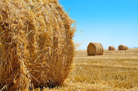 Round bales of straw lie in the field after harvesting Stock Photo