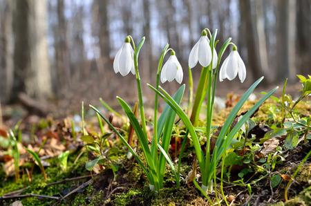 Eerste sneeuwklokjes in het bos in de lente Stockfoto