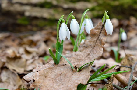 First snowdrops in the forest in spring