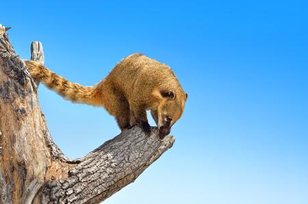 Nasua is climbing a tree against a blue sky