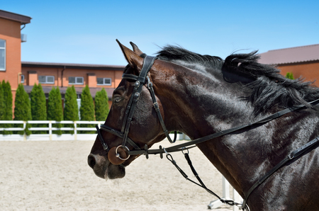 Young, athletic, thoroughbred horse on dressage, close-up Stock Photo