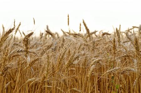Yellow ears of wheat ripen in summer in the field