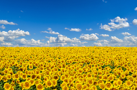 Champ de tournesols jaunes contre le ciel bleu Banque d'images