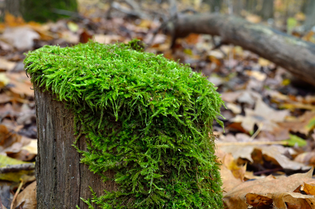 Green moss grows on a stump in the autumn forest. Autumn mushrooms and plants in the forest.