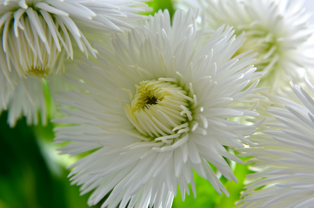 White Daisies bloomed against a background of green leaves. Pomponette White, Bellis Perennis.