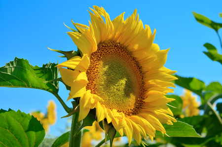 Yellow sunflowers grow in the field against a blue sky. Agricultural crops.