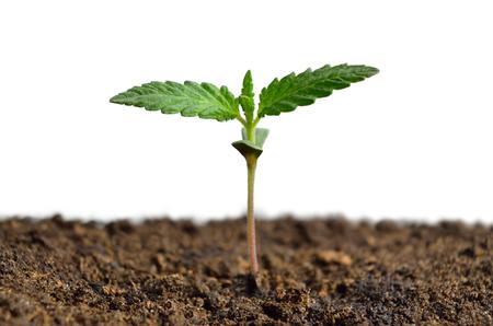 Cannabis sprießen isoliert auf weißem Hintergrund. Anbau von Hanf. Standard-Bild