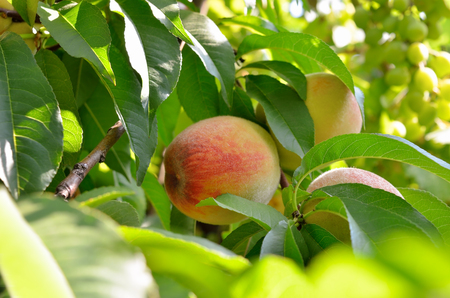 Ripe peaches on a tree among the leaves. Harvest in the orchard.