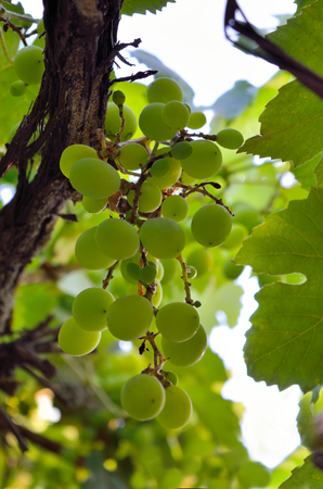Green grapes on a branch among the leaves 스톡 콘텐츠