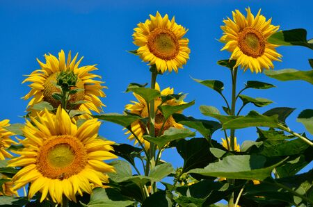 Yellow sunflowers grow in the field. Agricultural crops.