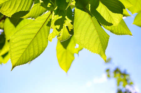 Green leaves in the foreground against a blue sky