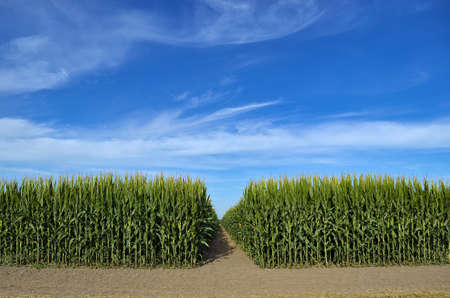 Green field of young corn on background of blue sky
